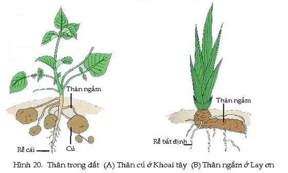 Bộ lá và hệ rễ