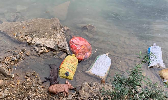 Xác heo trôi đầy sông, nguy cơ bùng phát dịch bệnh