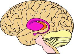 Câu chuyện của não bộ striatum