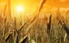 Hạt lúa mì chết đi thì sinh nhiều hoa trái