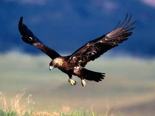 Con chim ưng quý của Thành Cát Tư Hãn