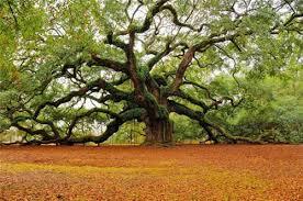 Giấc mơ cuối cùng của cây sồi già