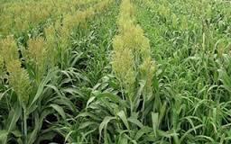 Lúa miến và cỏ lùng