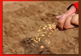 Như hạt lúa gieo vào lòng đất
