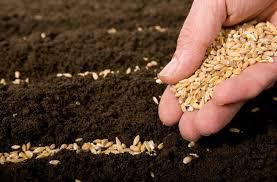 Như hạt lúa mì rơi xuống đát